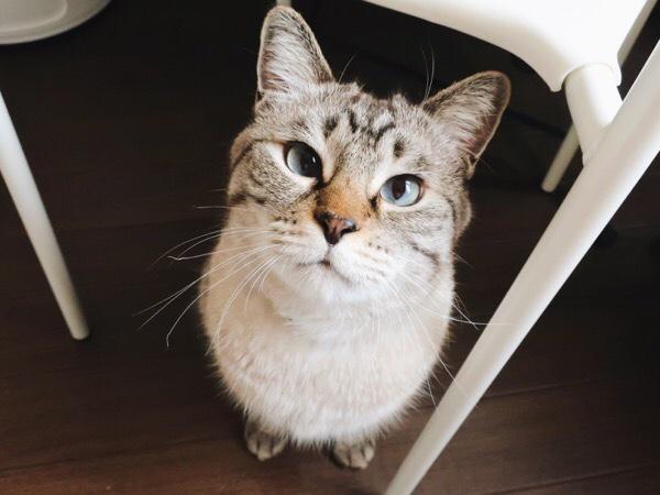 椅子の下にお座りしてこっちを見上げているムク(シャムトラ猫)。