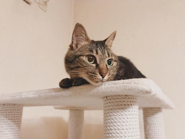 キャットタワーの上にいるジーナ(キジトラ猫)。