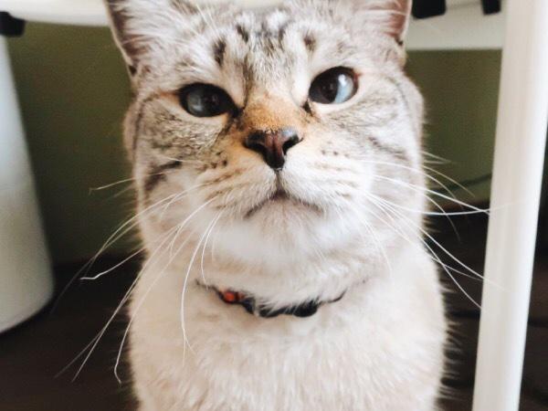 寄り目で丸顔の猫。