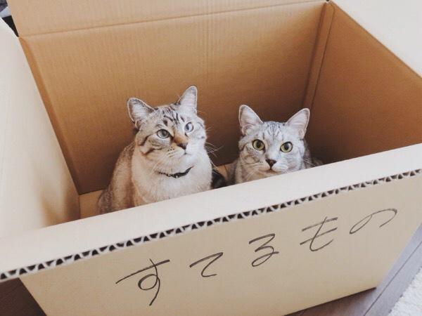 ゴミ用のダンボール箱の中に入っているテト(サバトラ猫)とムク(シャムトラ猫)。