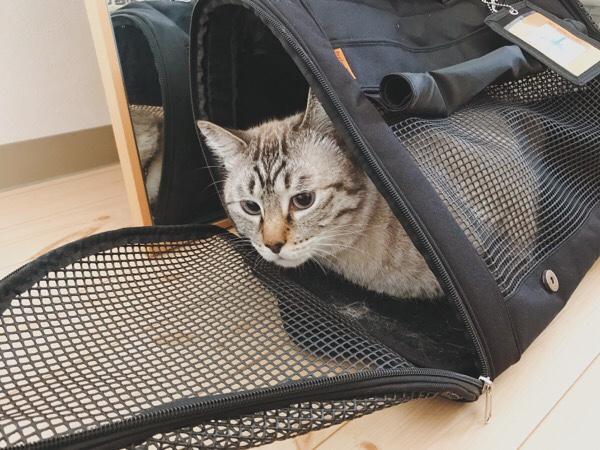 キャリーバッグから恐る恐る顔を出しているムク(シャムトラ猫)。