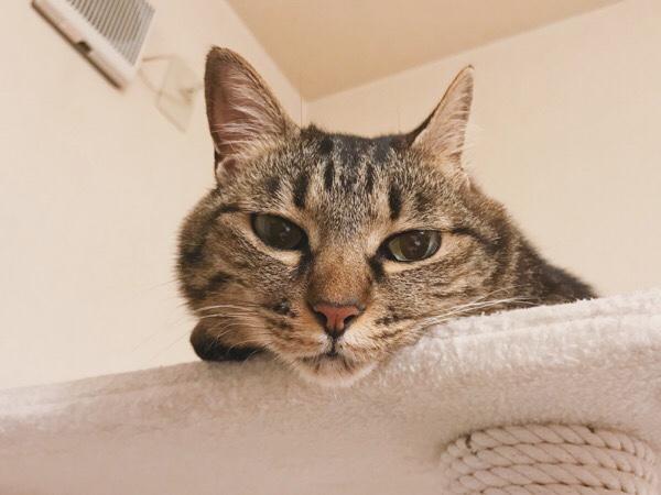 キャットタワーから顔がはみ出てるジーナ(キジトラ猫)。