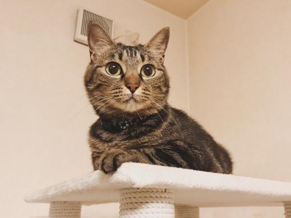 キャットタワーの上で目を丸くしてるジーナ(キジトラ猫)。