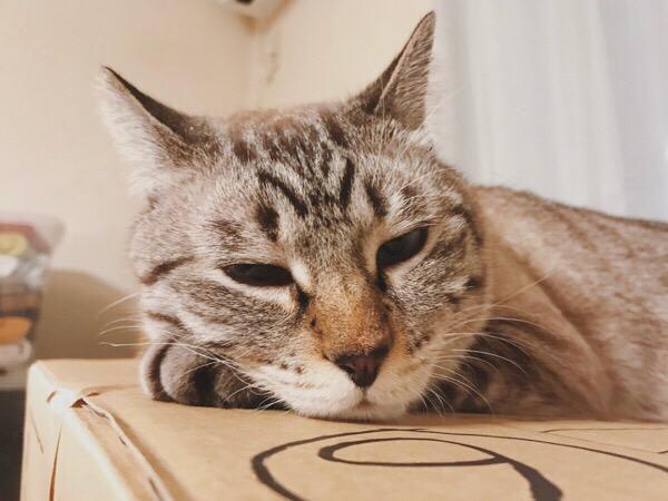 ふてくされ顔のムク(シャムトラ猫)。