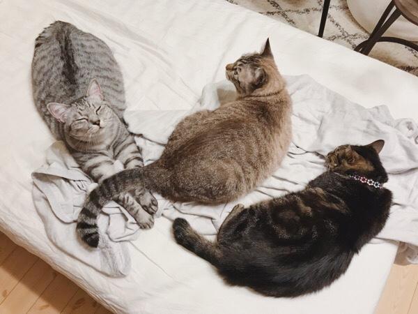 ベッドの上で寝そべってる3匹の猫たち。