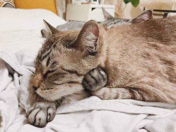テト(サバトラ猫)に頭を抱きかかえられてるムク(シャムトラ猫)。