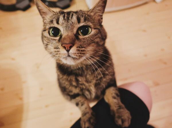 ニンゲンの膝に前足を乗せて立っているジーナ(キジトラ猫)。