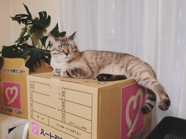 ダンボール箱の上でリラックスしているムク(シャムトラ猫)。