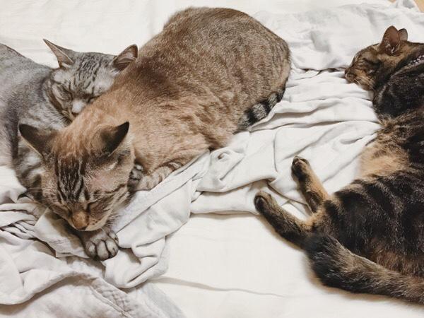 べったりくっついて寝る兄弟猫とひとりでのびのび寝るジーナ(キジトラ猫)。
