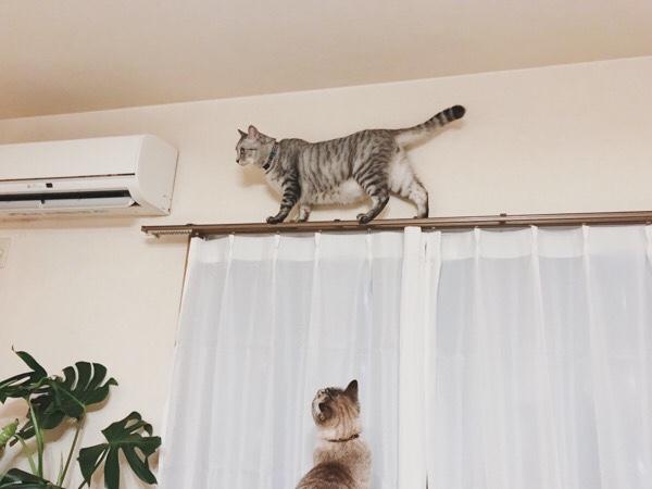 カーテンレールの上を渡っているテト(サバトラ猫)。