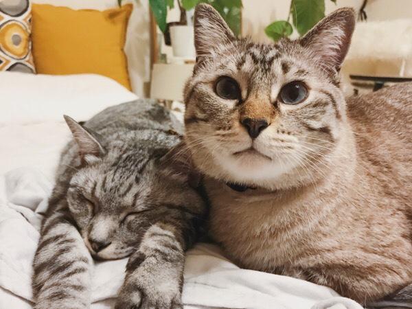 寝てるテト(サバトラ猫)に寄り添うムク(シャムトラ猫)。
