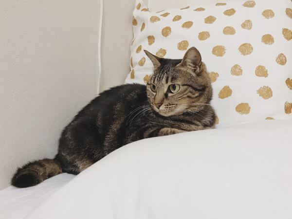 枕の横で待機してるジーナ(キジトラ猫)。
