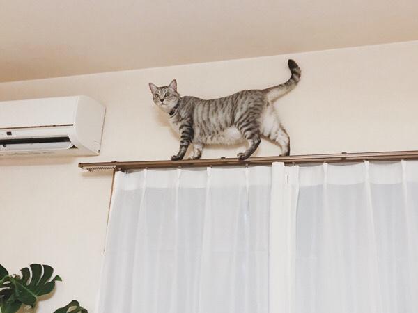 カーテンレールの上にいるテト(サバトラ猫)。