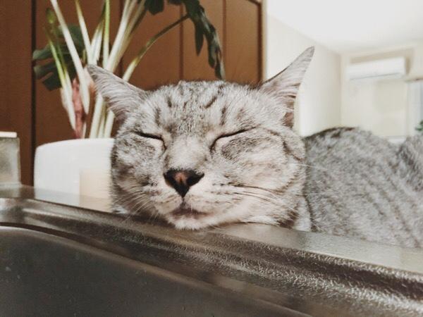 シンクの縁に顔を乗せているテト(サバトラ猫)。