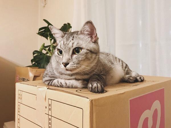 ダンボール箱の上で寝そべってるテト(サバトラ猫)。