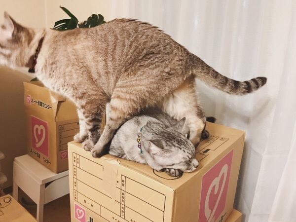 ダンボール箱の上で寝てるテト(サバトラ猫)をまたぐムク(シャムトラ猫)。