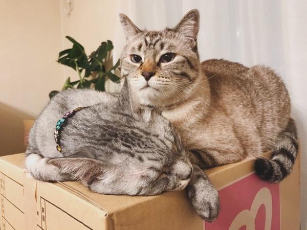 ダンボール箱の上で寝てるテト(サバトラ猫)に寄り添うムク(シャムトラ猫)。