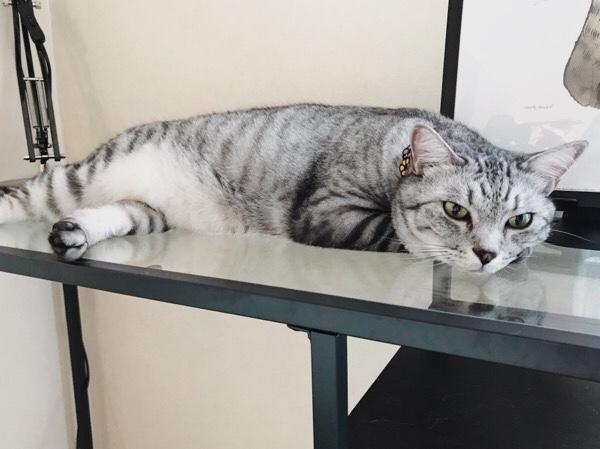 ガラステーブルの上で横になっているテト(サバトラ猫)。