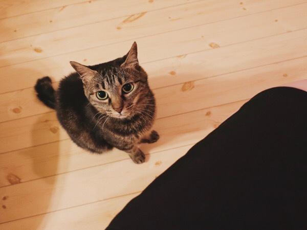 ニンゲンの膝に飛び乗ろうとしているジーナ(キジトラ猫)。