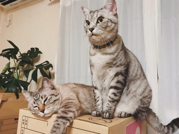 お座りしているテト(サバトラ猫)と寝てるムク(シャムトラ猫)。