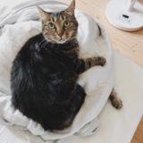 丸めたガーゼケットの上に乗っかっているジーナ(キジトラ猫)。