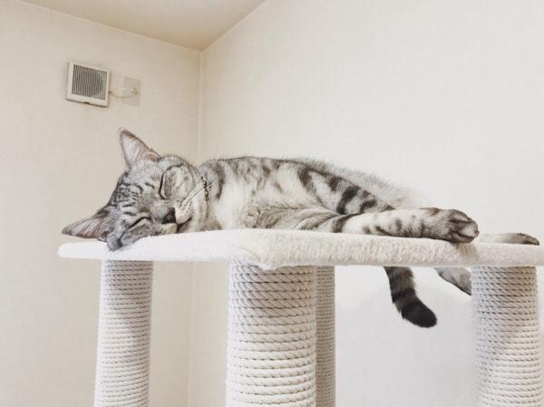 キャットタワーの上ですやすや寝ているテト(サバトラ猫)。