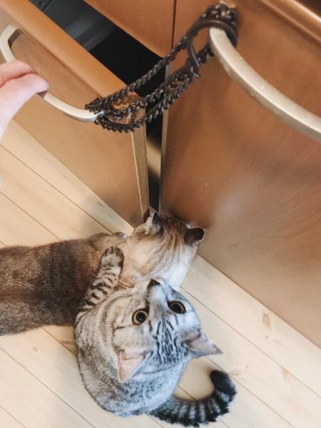 開かなくなった戸棚に群がる猫たち。