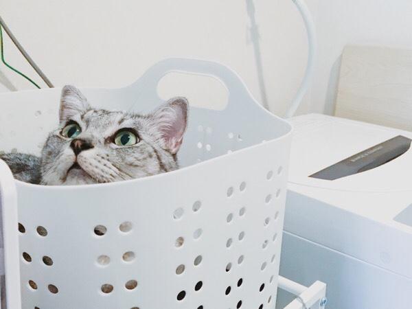 洗濯カゴの中から顔を覗かせるテト(サバトラ猫)。
