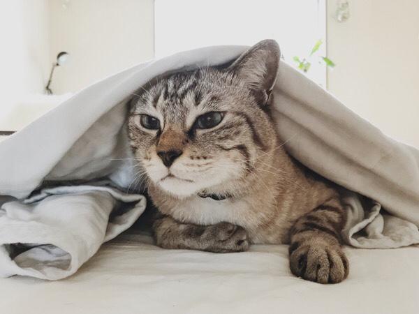 ガーゼケットの下から顔を出すムク(シャムトラ猫)。