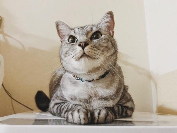 洗濯機の上で香箱を組んでいるテト(サバトラ猫)。