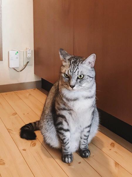 怒り顔のテト(サバトラ猫)。