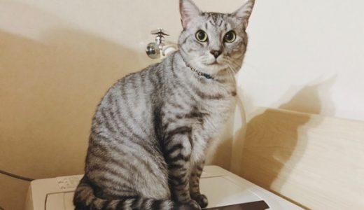 洗濯機の上に座っているテト(サバトラ猫)。
