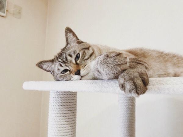 キャットタワーの上で寝そべっているムク(シャムトラ猫)。