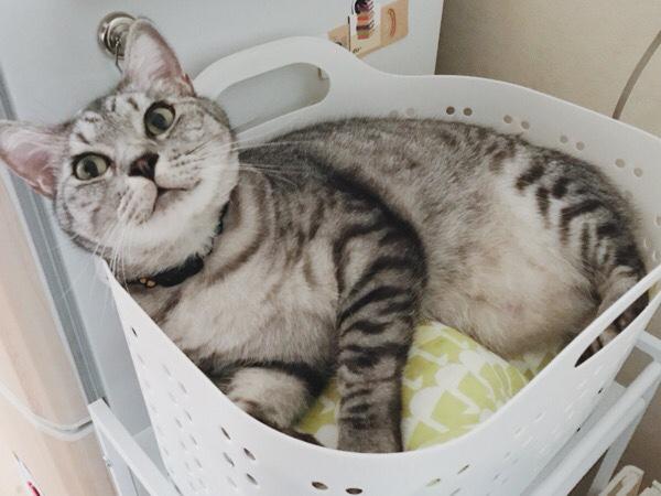 洗濯カゴの中でくつろいでいるテト(サバトラ猫)。