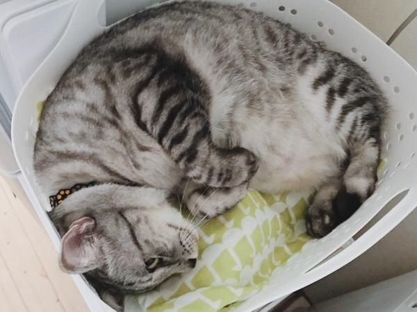洗濯カゴの中で縮こまっているテト(サバトラ猫)。