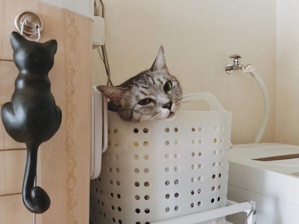 洗濯カゴの中からこちらを見ているテト(サバトラ猫)。