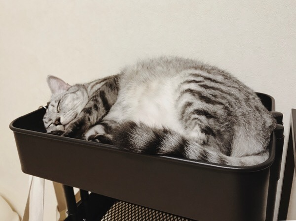 満足げに寝ているテト(サバトラ猫)。