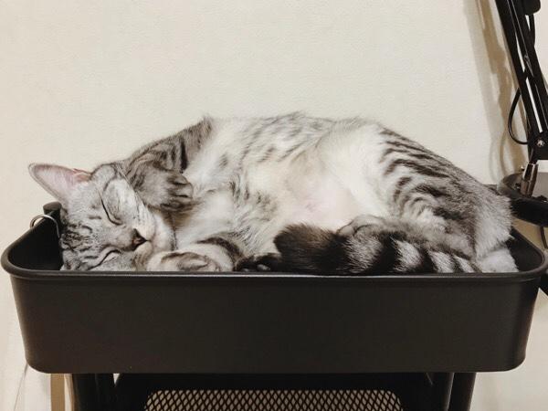 IKEAのワゴンにみっちり収まっているテト(サバトラ猫)。