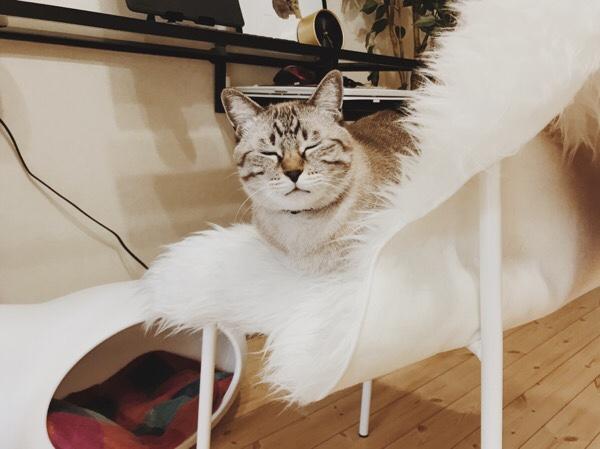 椅子の上で香箱座りしているムク(シャムトラ猫)。