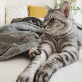 スフィンクスポーズでくつろいでいるテト(サバトラ猫)。