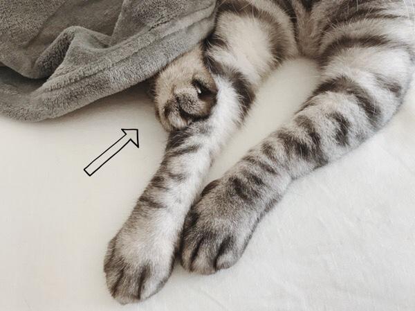 毛布の中から兄猫の前脚を掴むムク(シャムトラ猫)の手。