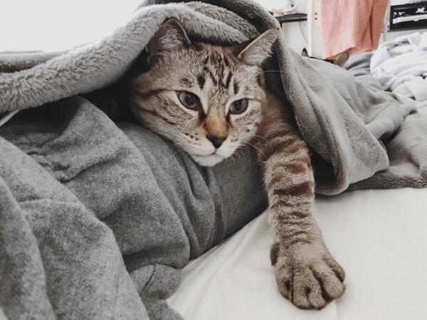毛布の中から顔と前脚だけ出しているムク(シャムトラ猫)。