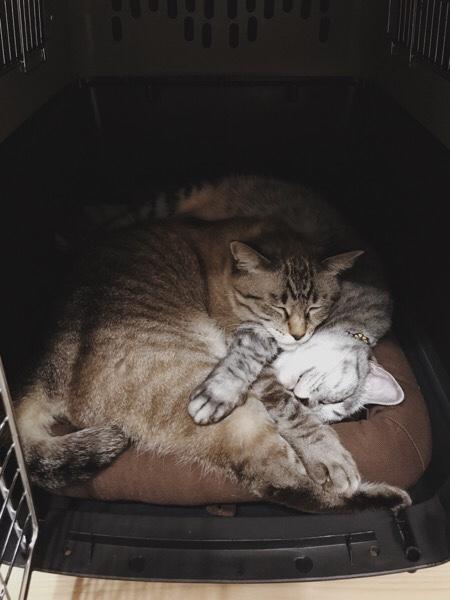 バリケンの中で抱き合って眠るムク(シャムトラ猫)とテト(サバトラ猫)。
