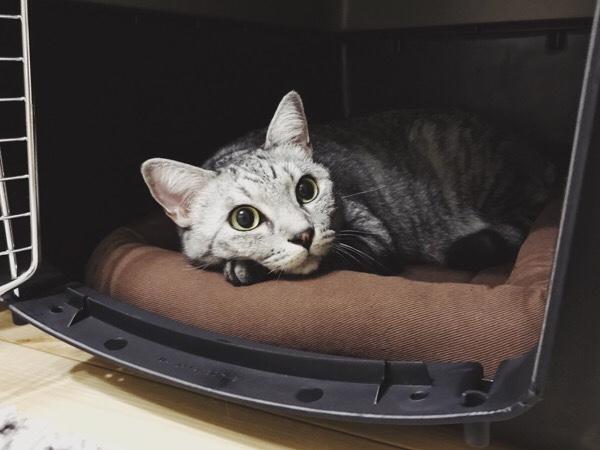 バリケンの中でリラックスしているテト(サバトラ猫)。