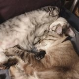 仲良くくっついて寝ている兄弟猫。
