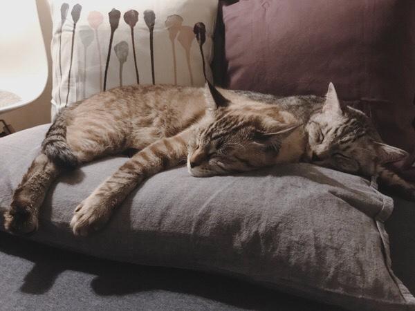 枕の上で寝てしまったテト(サバトラ猫)とムク(シャムトラ猫)。