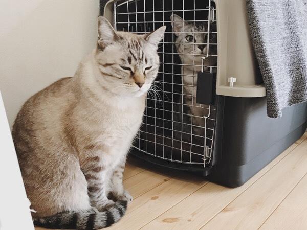 バリケンの入り口に佇むムク(シャムトラ猫)。