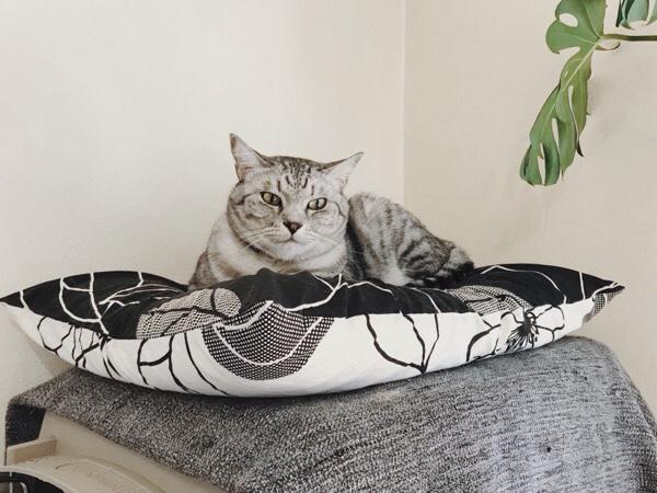 枕ベッドでくつろいでいるテト(サバトラ猫)。