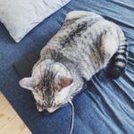 なぜかiPadを座布団にしたがる猫