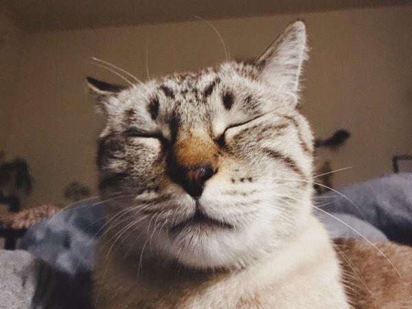眠さが限界のムク(シャムトラ猫)。
